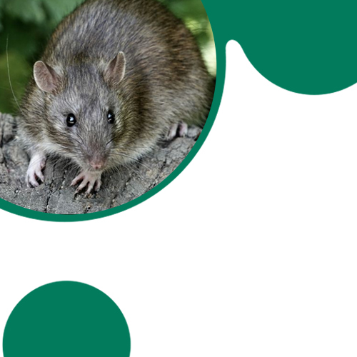 4 Ways to Get Rid of Rodents from Your Place