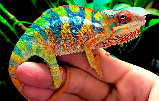 How to Take Care of Chameleon from Common Diseases