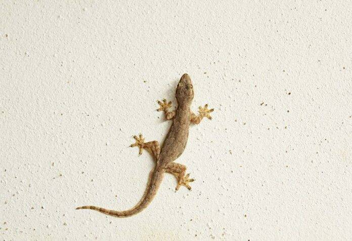 why lizard are there in your house
