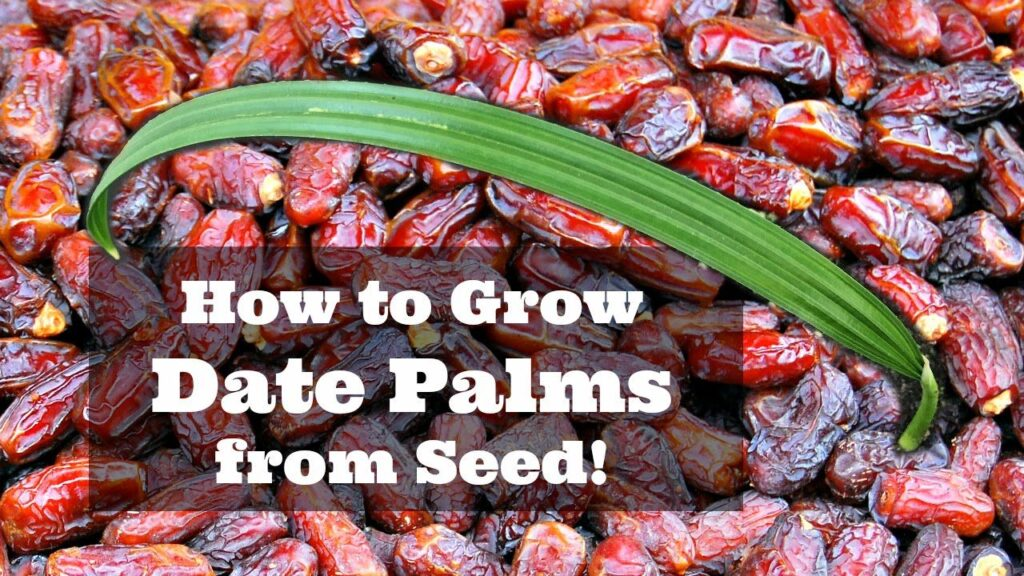 How to Grow Khajoor With Seeds at Home?
