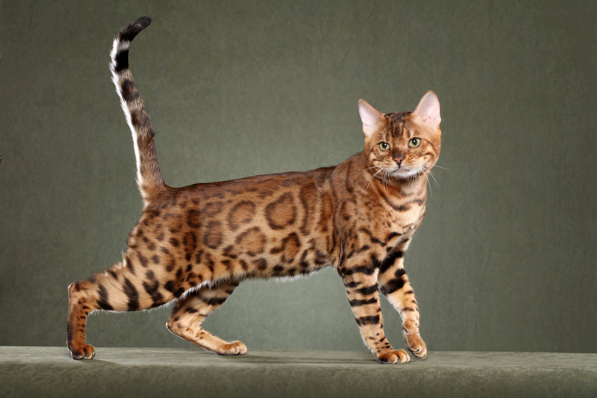 Bengal kittens for sale in PA, 6 Common Health Problems in Cats- Bengal Kittens for Sale in Pa