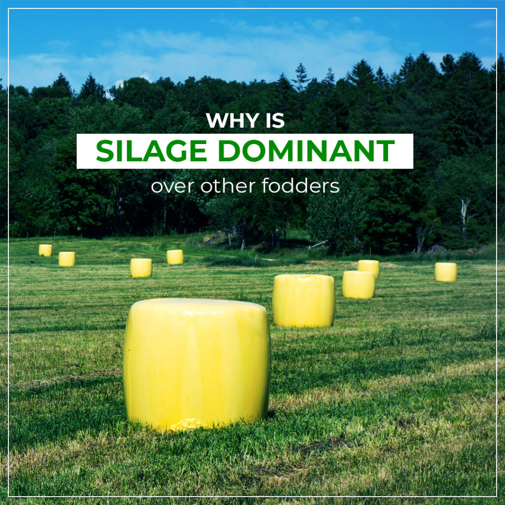 Why silage dominates over other feed?