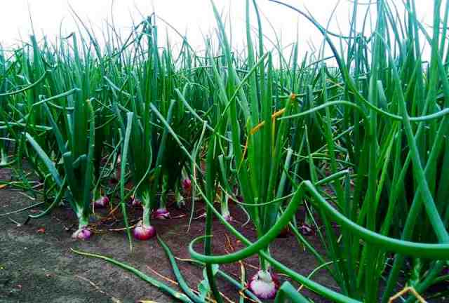 Onion Crop Production in India – Key Requirement for Onion Farming