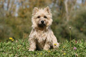 Cairn Terrier Dog Breeds